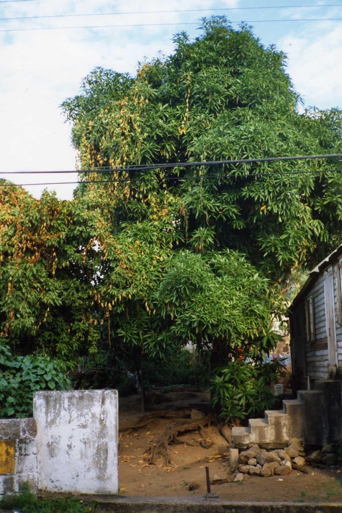 mango treeb