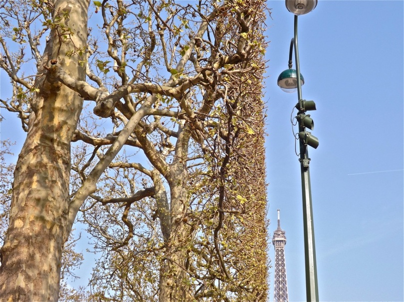 london-plane-trees-paris