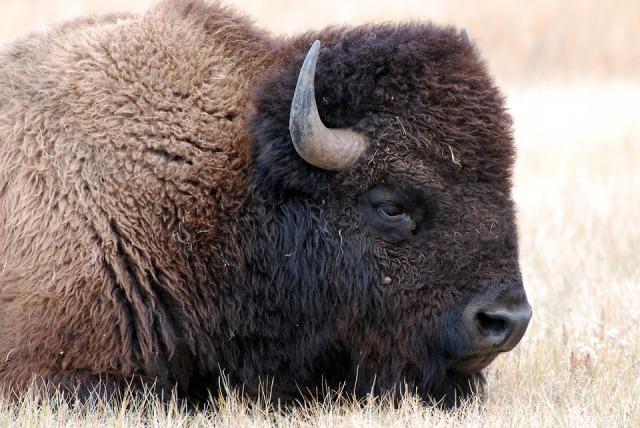 bison-1344761_960_720